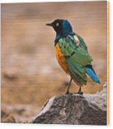 Superb Starling Wood Print by Adam Romanowicz