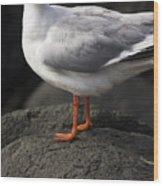 Suprised Australian Seagull Wood Print