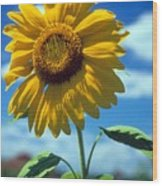 Sussex County Sunflower Wood Print