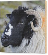 Swaledale Ewe. Wood Print
