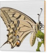 Swallowtail Butterfly Vector Isolated Wood Print