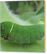 Swallowtail Caterpillar Wood Print