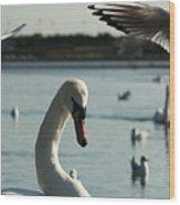 Swan And Gulls  Wood Print