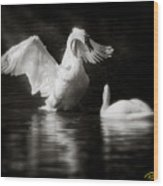 Swan Display Wood Print