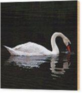 Swan Drinking Wood Print