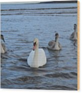Swan Family At Sea Wood Print