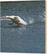 Swan Landing 2 Wood Print