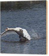 Swan Landing 3 Wood Print