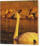 Swan Near Sundown Wood Print