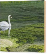 Swan On The River Lathkill Wood Print