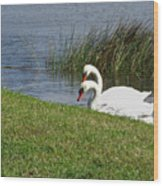 Swan Pair As Photographed Wood Print