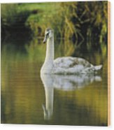 Swan Reflection Wood Print