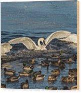 Swan Wings Reach Wood Print