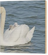 Mute Swan With Babies On Its Back Wood Print