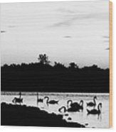 Swans At Sunset Wood Print