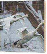 Swans Landing Wood Print