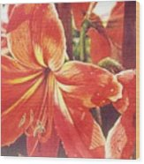 Sweet Amaryllis Wood Print