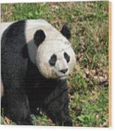 Sweet Chinese Panda Bear Sitting Down In Grass Wood Print
