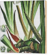 Sweet Flag Or Calamus, Acorus Calamus Wood Print