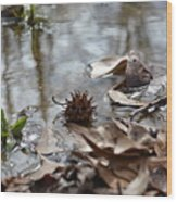 Sweet Gum Seed Pod In Mississippi Winter Wood Print