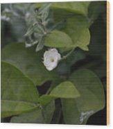 Sweet Jasmine  Wood Print