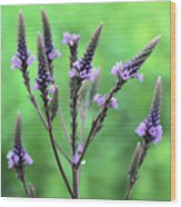 Sweet Vervain Wood Print