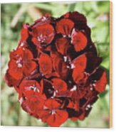 Sweet William Macro Wood Print