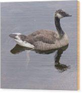 Swimming Canada Goose Wood Print