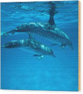 Swimming Dolphins Wood Print