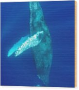 Swimming Humpback Wood Print