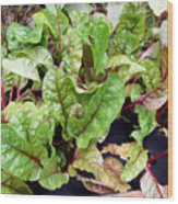 Swiss Chard In A Vegetable Garden 1 Wood Print