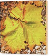 Sycamore Leaf  In Fall Wood Print