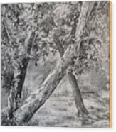 Sycamore Tree In Goliad State Park Wood Print