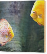 Symphysodon Discus Fishes Wood Print