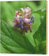 Synchlora Aerata Caterpillar Wood Print