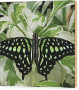 Tailed Jay Butterfly #2 Wood Print