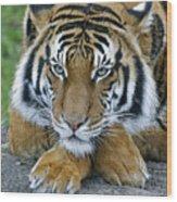 Takin A Break Tiger Wood Print
