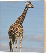 Tall Giraffe In A Field Fota Ireland Wood Print
