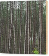 Tall Pines After The Rain Wood Print