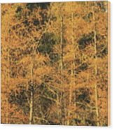 Tamarack Foliage Wood Print