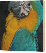 Tango, The Blue And Gold Macaw Wood Print