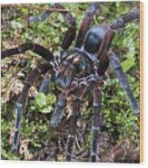 Tarantula Pamphobeteus Sp Male, Mindo Wood Print