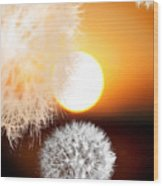 Taraxacum Sunset Wood Print