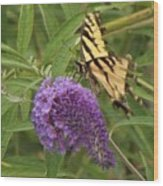 Tattered Tiger Swallowtail Butterfly          August         Indiana Wood Print