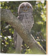 Tawny Frogmouth Wood Print by Barry Culling