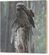 Tawny Frogmouth With It's Eyes Closed And Wing Extended Wood Print