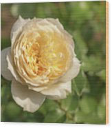 Tchaikovski Hybrid Tea Rose, White Rose Originally Produced By  Wood Print