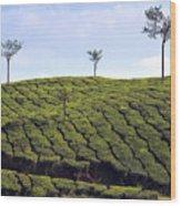 Tea Planation In Kerala - India Wood Print