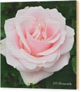 Tea Rose In Pink Wood Print