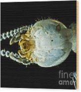 Termite Head, Lm Wood Print